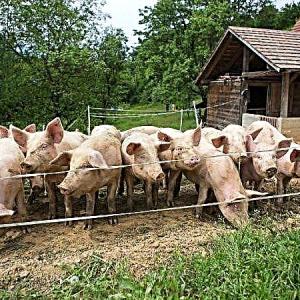 ЕК премахва част от ограниченията за производство и търговия на свине и месо в част от България