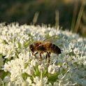 Пчелари: Ниските цени и драстичният спад в търсенето застрашават бранша
